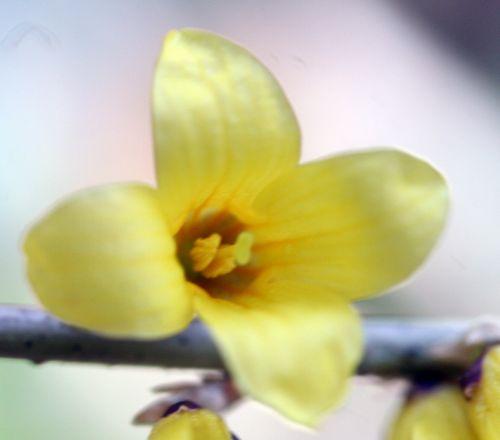 forsythia fleur 11 mars 014.jpg