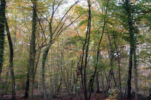 tout jaune forêts 26 oct 009.jpg