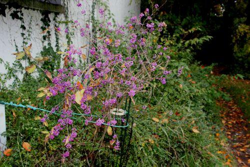 callicarpa veneux 15 nov 2013 003.jpg