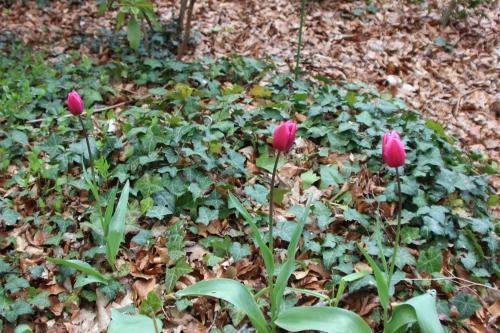 tulipes veneux 17 avril 2016 013.jpg