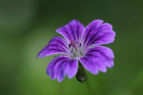 2 geranium nodosum romi 31 mai 2014 018.jpg