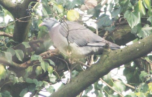 7 pigeon ramier veneux 18 janv 2016 006.jpg