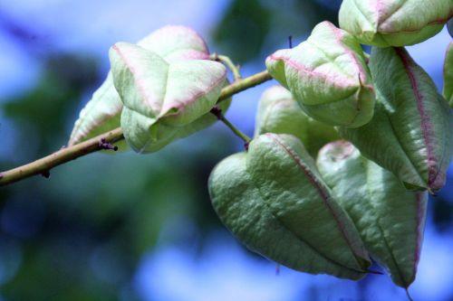 koelreuteria fr verts jardiland 29 juil 2010 069.jpg