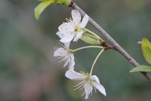 3 prunier crimson glo 2 mars 2016 001 (3).jpg