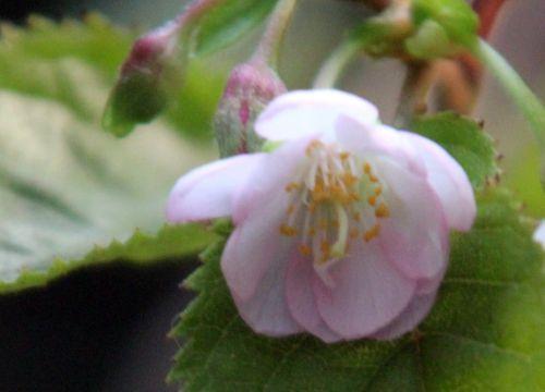 7 prunus subhirtella fl veneux 30 oct 2012 010 (7).jpg