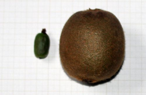 actinidia fruits 1 nov 2013 001.jpg