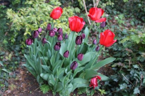 4 tulipes veneux 23 avril 2016 005.jpg