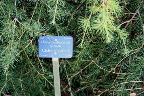 cedrus étiq arbofolia 9 oct 2010 094.jpg