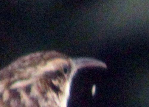 h grimpereau bec 5 mars 2013 034.jpg