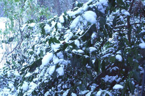 neige houx 17 dec 002.jpg