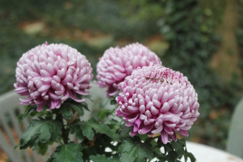 16 chrysantheme veneux 12 nov 2017 004.jpg