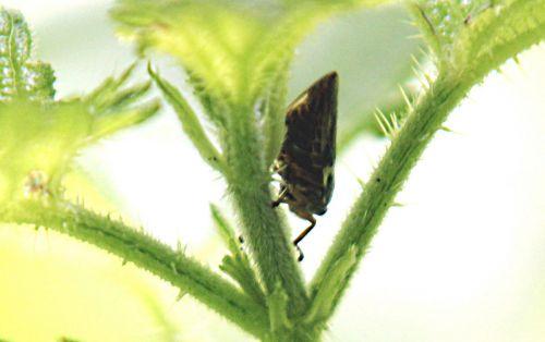 3 cicadelle romilly 18 juil 2012 p 019.jpg