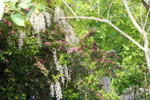 wisteria floribunda veneux 24 avril 2011 029.jpg