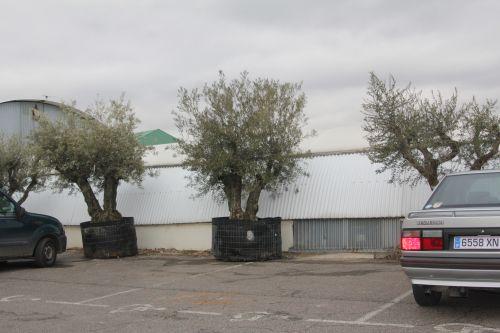 oliviers 1 17 fev 2012 001.jpg
