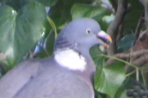 7 pigeon ramier graine près veneux 15 janv 2016 022.jpg