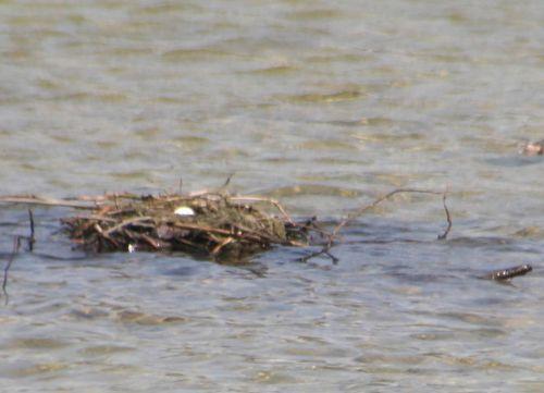 6 grebe nid 22 avril 026.jpg
