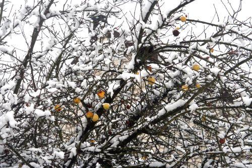 neiges pommes 20 déc 2010 065.jpg