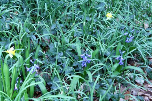 jacinthes veneux 24 mars 001.jpg