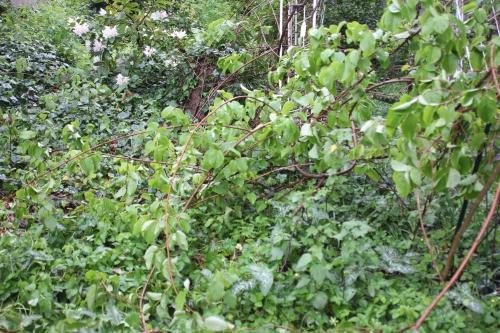 actinidia melanandra veneux 1 mai 2015 014 (1).jpg