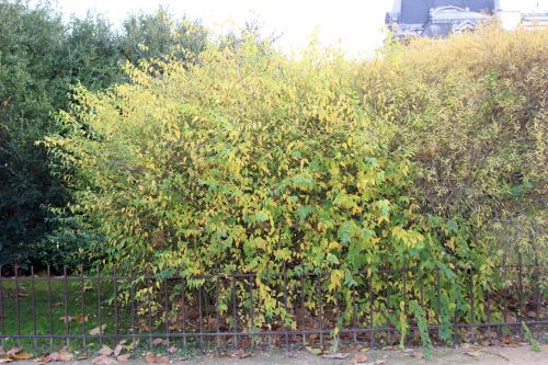 salix purpurea 1 paris 1 dec 2013 199 (2).jpg
