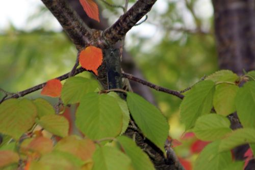 3 prunus jamasakura gb 6 oct 2012 047 (5).jpg