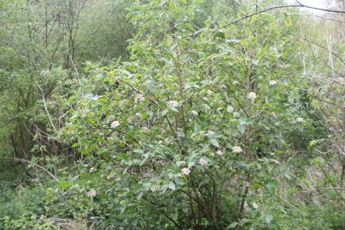 viburnum lantana romi 25 avril 2017 005 (1).jpg
