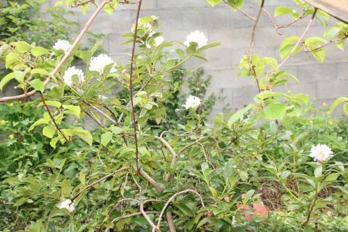 5 cunningham's white 25 avril 2017 001 (1).jpg