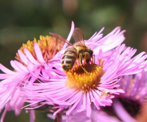 aster abeille romi 23 sept  2010 041.jpg