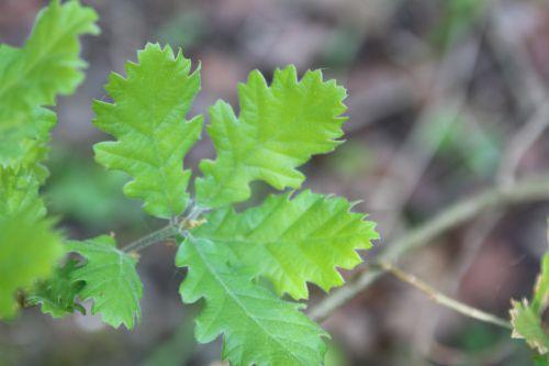8 quercus pubescens romi 22 avril 2014 009 (4).jpg