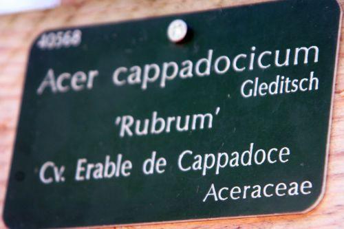 acer cappadocicum étiq paris 16 jan 257.jpg