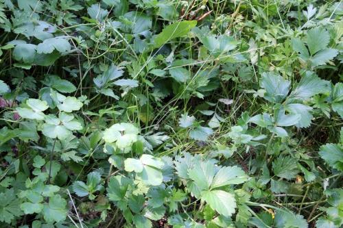 1 aquilegia semis romi 2 juin 2011 056.jpg