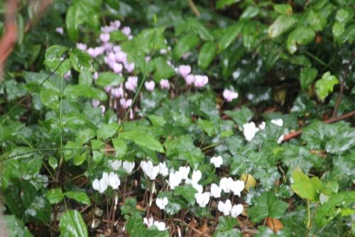 6 cyclamen hederifolium veneux 25 sept 2016 005.jpg