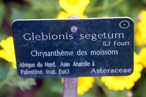 glebionis segetum 1 paris 23 juin 2012 434.jpg