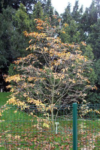 1 magnolia proctoriana paris 10 nov 2012 104.jpg