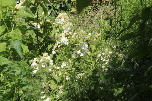 a hydrangea heteromalla marnay 16 juin 2013 022 (1).jpg