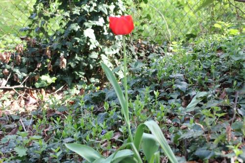 14 tulipe veneux 13 avril 2015 062.jpg