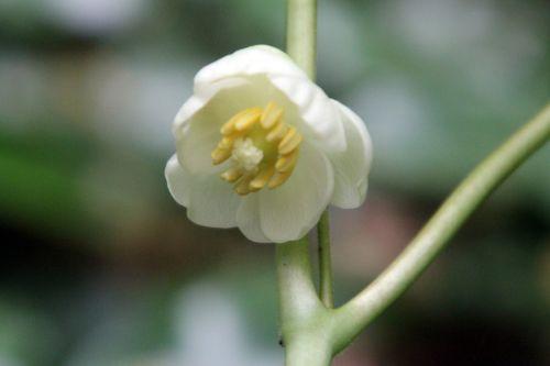 1 podophyllum veneux 10 mai 2013 003.jpg