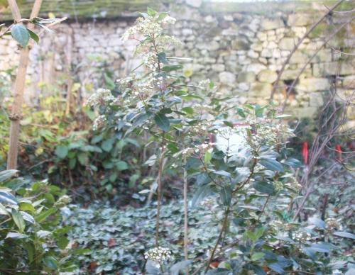 4 viburnum tinus veneux 17 dec 2017 017.jpg
