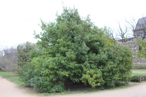 2 f quercus myrsinifolia paris 31 janv 2015 044.jpg