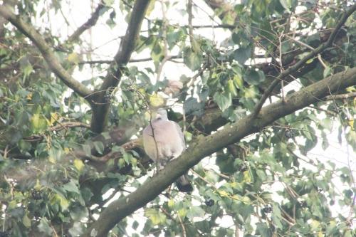 5 pigeon ramier veneux 18 janv 2016 004.jpg