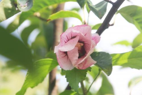 8 hibiscus syriacus romi 12 sept 2017 010.jpg