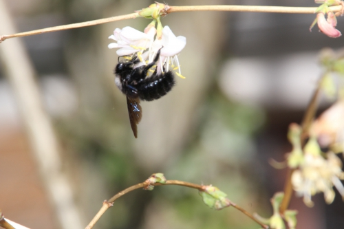 1 xylocopa violacea veneux 8 mars 2015 057 (8).jpg