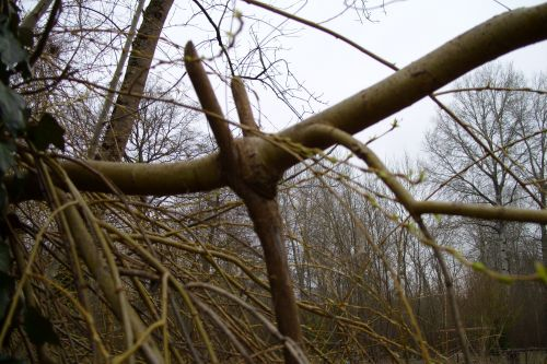 8 saule tuteur englobé 25 fev 2008 005.jpg