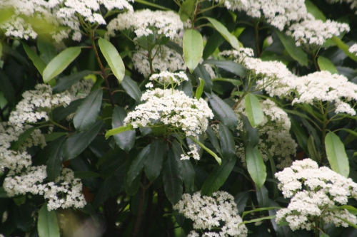 photinia schneideriana paris 27 avril 125.jpg