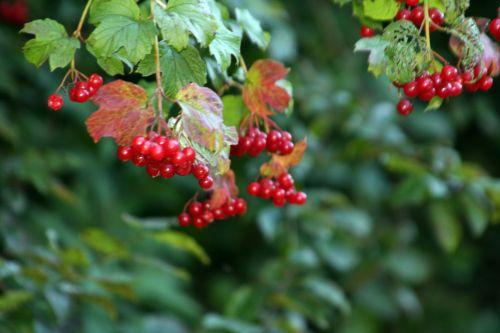 10 viburnum opulus 12 sept 2012 022.jpg