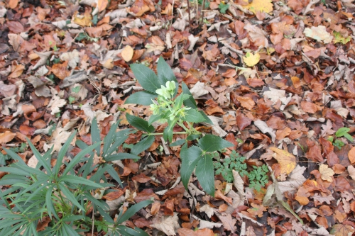9 helleborus argutifolius veneux 5 déc 2014 011 (1).jpg