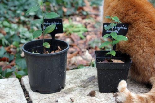 3 pseudocydonia sinensis 29 janv 2012 002.jpg