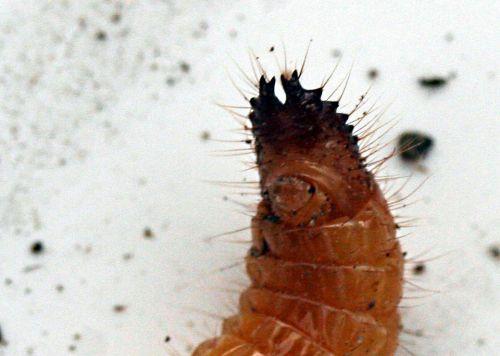 tipule larve queue p romi 8 nov 030.jpg