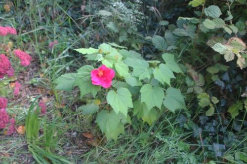 1 hibiscus mutabilis veneux 6 oct 2017 001.jpg