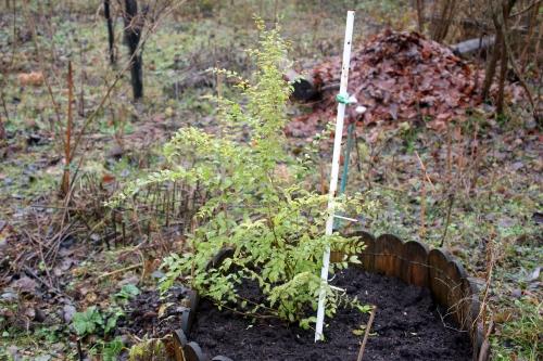 ligustrum sin lemon romi 21 déc 2012 002.jpg